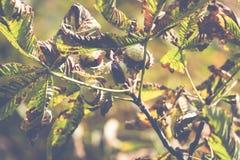 Chesnut树 秋天 秋天场面 秀丽自然场面树和 图库摄影