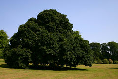 chesnut δέντρο Στοκ εικόνα με δικαίωμα ελεύθερης χρήσης
