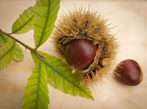 Chesnut Stock Photography