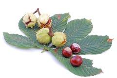 Chesnut stock image