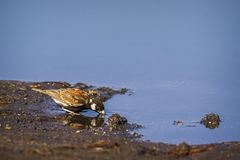 Chesnut backed sparrow-lark in Kruger National park, South Africa royalty free stock photography