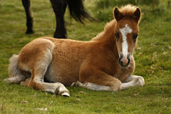 Chesnut Dartmoor Pony Foal Royalty Free Stock Images