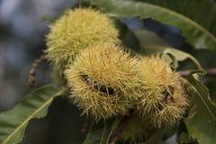Chesnut dulce Fotografía de archivo libre de regalías