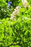 Chesnut flower Stock Photo