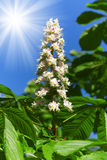 Chesnut flower with sun Royalty Free Stock Photography