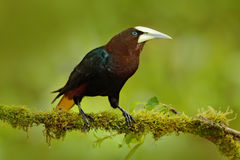 Chesnut-headed Oropendola, Psarocolius wagleri, portrait of exotic bird from Costa Rica, brown with black head and yallow bill, cl Stock Photo