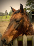 Chesnut horse at children's farmyard Royalty Free Stock Photo