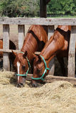 Chesnut horses eat dry hay on farm summertime Stock Photos
