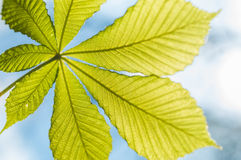 Chesnut leaf and blue sky Royalty Free Stock Images