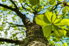 Chesnut leaf and tree Royalty Free Stock Photos