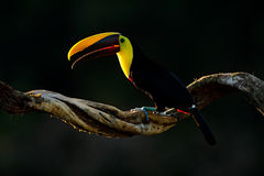 Chesnut-mandibled Toucan sitting on the branch in tropical rain with green jungle background. Wildlife scene from nature with beau Stock Photo