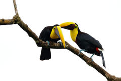 Chesnut-mandibled Toucan sitting on the branch in tropical rain, white background. Wildlife scene from nature with beautiful bird, Stock Image