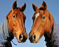Chesnut pair Royalty Free Stock Image