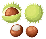 Chesnut peeled and whole horse chestnuts,  illustration isolated on white background. Drawing of chestnuts with and without Stock Image