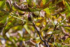Chesnut tree. Autumn. Fall scene. Beauty nature scene trees and Royalty Free Stock Photos