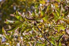 Chesnut tree. Autumn. Fall scene. Beauty nature scene trees and Royalty Free Stock Photography