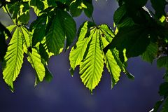 Chesnutbladeren Stock Fotografie