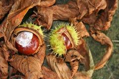 Chesnuts en el verde en la tierra con las hojas marrones imagen de archivo libre de regalías