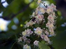 Chesnuts flowers Stock Photo