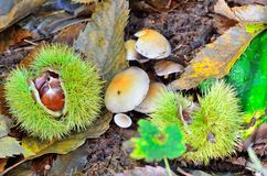 Chesnuts in husk with mushrooms Royalty Free Stock Image