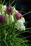 Chess Flowers Stock Photo