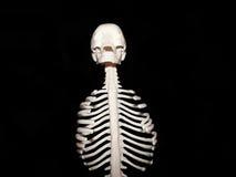 Chest bones Stock Photography
