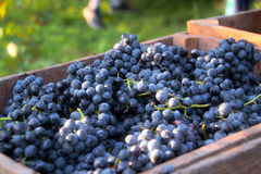 Chest of grapes. In the countryside after dhe grape harvest Stock Photos