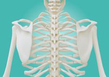 Chest Skeleton on pastel green background. Royalty Free Stock Image