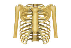 Chest, upper body. Vector illustration of the chest, upper shoulder girdle Royalty Free Stock Photography