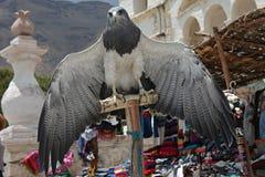 Chested Eagle ï ¿ ½ ï ¿ ½ Colca dolina, Peru Fotografia Royalty Free
