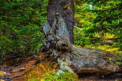 Chester湖的秋天落叶松属 免版税库存图片
