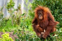 Chester, Cheshire, Angleterre - 12 mai 2018 : Un jeune abelii de Pongo d'orang-outan ?t? perch? plac? sur un arbuste et m?cher un image stock