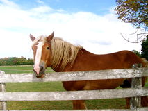 Chester at the fence. Chester a beautiful horse waits at the fence for some attention and maybe an apple Royalty Free Stock Photography