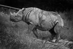 Chester Rhino Stock Images