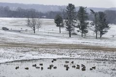 Green-headed ducks are seen in pond surrounded by snow covered grassland stock photos