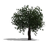 Chestnur tree Stock Photo
