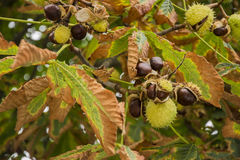 Chestnus on tree. Cracked chestnuts on the tree Royalty Free Stock Photo