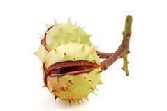 Chestnut. Open chestnut on white background royalty free stock photos