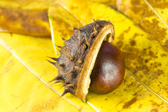 Chestnut. Autumn chestnut arranged on yellow leaves Stock Images