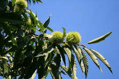 Chestnut. French Chestnut on the tree Royalty Free Stock Images