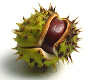 Chestnut. Ripe chestnut on the table Stock Photography