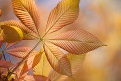 Chestnut. Detail of a transparent horse chestnut leaf royalty free stock image