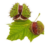 Chestnut. Falling fruit from the tree in autumn royalty free stock images