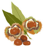 Chestnut. S, bur and green leaves Stock Photo