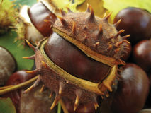 Chestnut. The fruit of the chestnut has fallen from the tree and the jar Stock Images