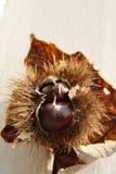 Autumn Leaf and Chestnut Royalty Free Stock Photos