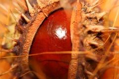 Chestnut 2. A encased chestnut by macro stock photos