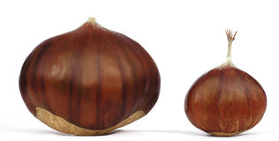 Chestnut. Big chestnut and small chestnut Stock Photography