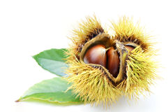 Chestnut. A chestnut in its bur on the leaf Stock Image