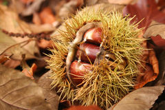 Chestnut. Chesnut in forest royalty free stock photos